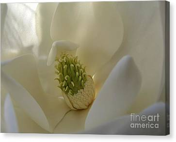 Sweet Magnolia Canvas Print by Peggy Hughes