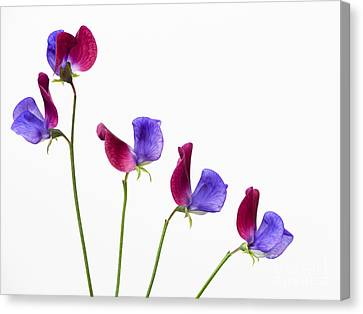 Sweet Pea Cupani Flowers Canvas Print by Tim Gainey