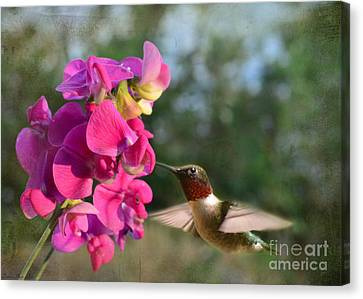 Sweet Pea Hummingbird Canvas Print by Debbie Portwood