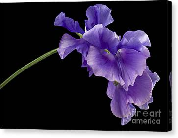 Sweet Pea Study Canvas Print by Anne Gilbert