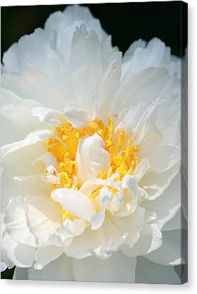 Canvas Print featuring the photograph Sweet Peony by The Art Of Marilyn Ridoutt-Greene