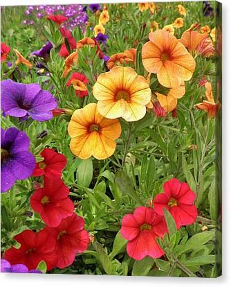 Sweet Petunias Canvas Print