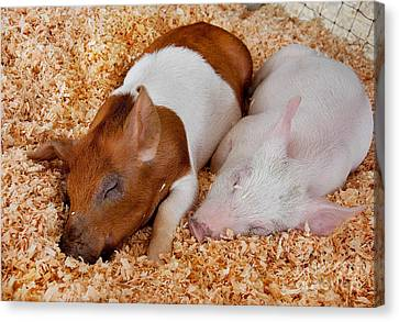 Canvas Print featuring the photograph Sweet Piglets Nap by Valerie Garner