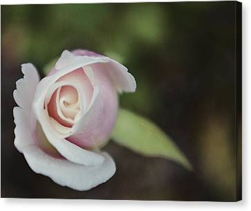 Sweet Pink Rose Canvas Print