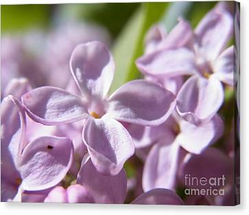 Sweet Scent Of Spring Canvas Print by Agnieszka Ledwon