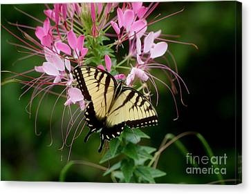 Sweet Swallowtail Canvas Print by Living Color Photography Lorraine Lynch