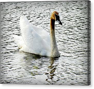 Sweet Swan Swimming Canvas Print by Danielle  Parent