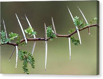 Sweet Thorn (vachellia Karroo) Canvas Print by Peter Chadwick
