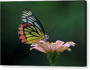 Delicate Beauty Canvas Print by Ramabhadran Thirupattur