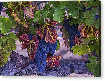 Vine Grapes Canvas Print - Sweet Wine Grapes by Garry Gay