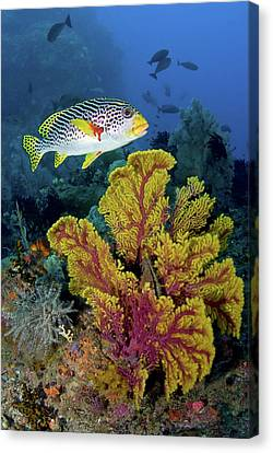 Sweetlip Fish Swims Over Gorgonian Canvas Print by Jaynes Gallery