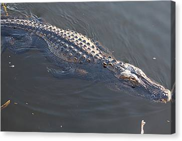 Swimmig Alligator Canvas Print by Scott Dovey