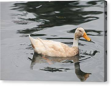 Swimming Duck Canvas Print by Pamela Walton