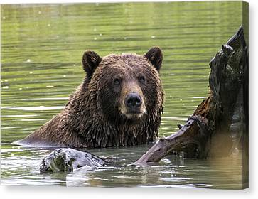 Swimming Grizzly Canvas Print by Saya Studios
