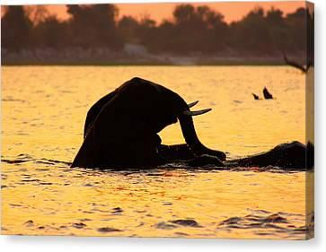 Canvas Print featuring the photograph Swimming Kalahari Elephants by Amanda Stadther