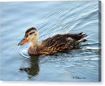 Swimming Mallard Hen Canvas Print