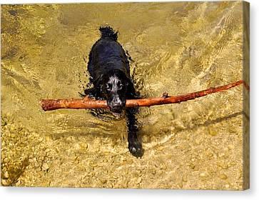 Swimming Spaniel Canvas Print