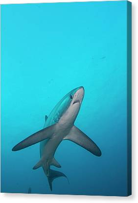 Hammerhead Shark Canvas Print - Swimming Thresher Shark by Scubazoo