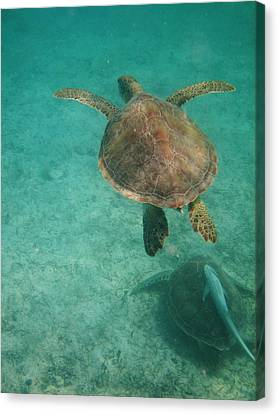 Canvas Print featuring the photograph Swimming With Turtles by Heather Green
