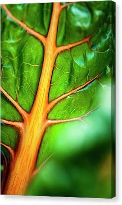 Swiss Chard (beta Vulgaris) Leaf Canvas Print