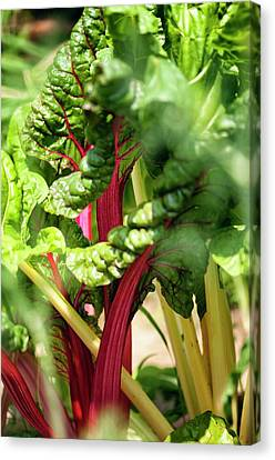 Swiss Chard (beta Vulgaris) Canvas Print by Maria Mosolova