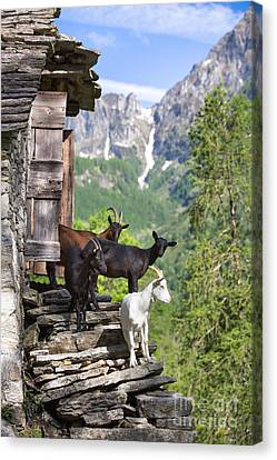 Swiss Goats Canvas Print by Maurizio Bacciarini