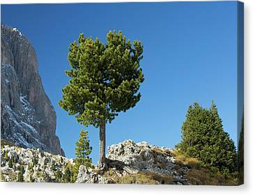 Swiss Pine (pinus Cembra) Canvas Print by Bob Gibbons