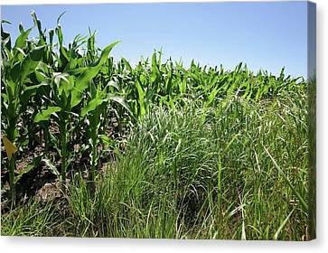 Switchgrass And Maize Crop Study Canvas Print by Peggy Greb/us Department Of Agriculture