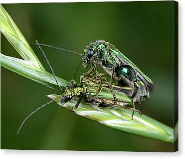 Swollen-thighed Beetles Canvas Print