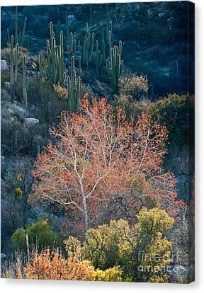 Sycamore And Saguaro Cacti, Arizona Canvas Print by John Shaw