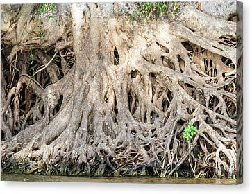 Sycamore Fig Tree Roots Binding The Soil Canvas Print