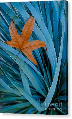 Sycamore Leaf And Sotol Plant Canvas Print by John Shaw