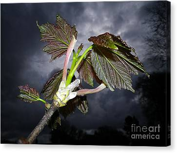 Sycamore Canvas Print by Richard Brookes