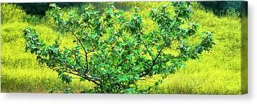 Sycamore Tree In Mustard Field Canvas Print