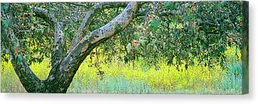 Sycamore Tree In Mustard Field, San Canvas Print by Panoramic Images