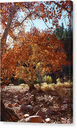Sycamore Trees Fall Colors Canvas Print by Tom Janca