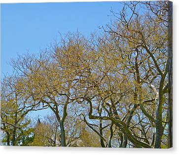 Sycamores In Spring Canvas Print by Ellen Paull
