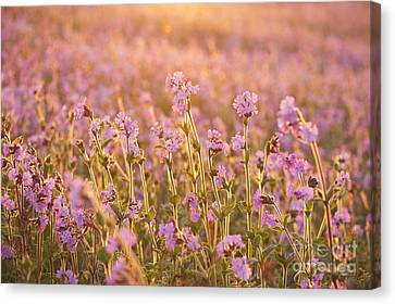 Symphony In Pink Canvas Print by Anne Gilbert