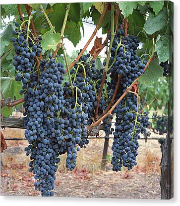 Syrah Canvas Print by Bernard  Barcos