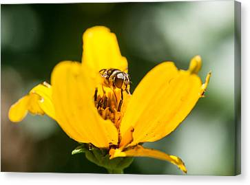 Syrphid Fly Up Close And Personal Canvas Print