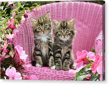 Tabby Kittens Canvas Print by Greg Cuddiford