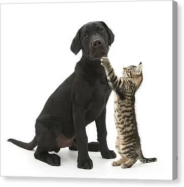 Tabby Male Kitten & Black Labrador Canvas Print by Mark Taylor