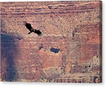 Canvas Print - Tagged Condor In The Canyon by R J Ruppenthal