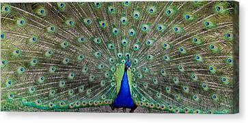 Tail Feather Canvas Print