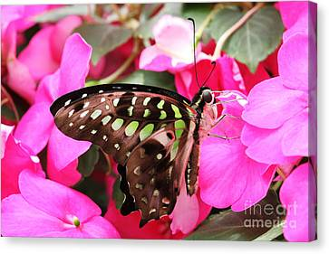 Tailed Jay Butterfly #4 Canvas Print by Judy Whitton