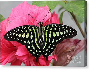 Canvas Print featuring the photograph Tailed Jay Butterfly #6 by Judy Whitton