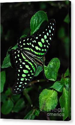 Canvas Print featuring the photograph Tailed Jay Butterfly by Eva Kaufman