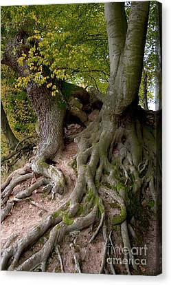 Taking Root Canvas Print by Heiko Koehrer-Wagner