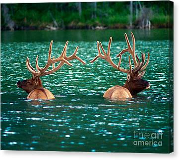 Talbot Lake Elk Canvas Print by Terry Elniski