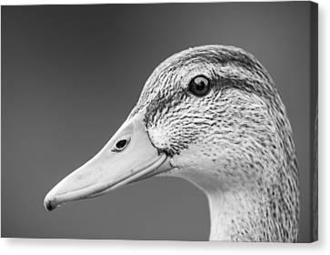 Talk Like A Duck Canvas Print